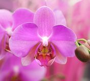 Orchid blossom Royalty Free Stock Images