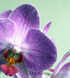 Orchid blossom. Close up of orchid providing details of anatomy and coloration Stock Image