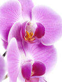 Orchid blossom closeup. Closeup of purple orchid blossom Royalty Free Stock Photography