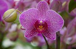 Orchid Blossom Royalty Free Stock Photo