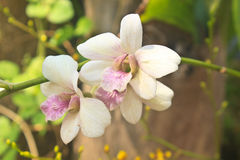 Orchid blossom in garden Stock Images