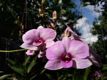 Orchid blossom. Ingarden Thailand Stock Photo