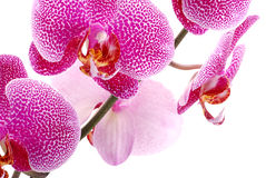 Orchid blossom macro shot. Stock Images