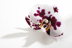 Orchid blossom (Orchidaceae), close-up Stock Photos