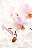 Orchid blossom (Orchidaceae) Stock Photography