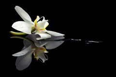 Orchid blossom reflection Stock Images