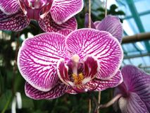 Orchid blossom white with pink veins Stock Photos