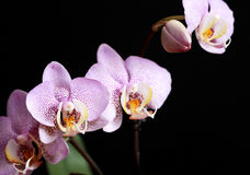Orchid Blossoming Stock Images