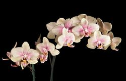 Orchid blossoming twig Stock Image