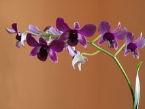 Orchid blossoms. Orchidea blossom. Violet color of exotic flower Stock Photo