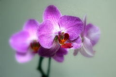 Orchid blossoms. Close up of orchid.   Image processed to create a soft, blurred effect Royalty Free Stock Photography
