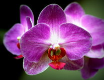 Orchid blossoms. Close up of orchid blossoms providing details of anatomy and coloration Stock Photography