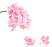 Orchid blossoms, isolated Stock Image