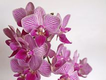 Orchid blossoms Stock Image