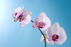 Orchid on Blue. Moth Orchid isolated on Blue Royalty Free Stock Photography