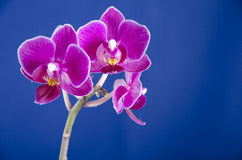 Orchid on the blue background stock photos