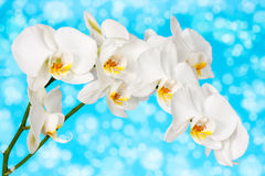 Orchid on the blue background Stock Image