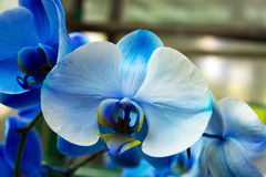 Orchid blue blossom. Flower tropical close up Royalty Free Stock Photo