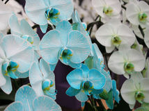 Orchid blue blossom flower tropical close up Stock Photo