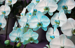 Orchid blue blossom flower tropical close up Royalty Free Stock Image