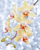 Orchid and blue bokeh Royalty Free Stock Photo
