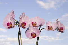 Orchid before blue Sky Stock Photos