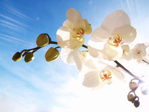 Orchid on the blue sky Stock Image
