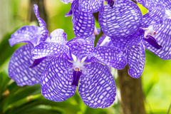 Orchid of blue vanda Royalty Free Stock Photo
