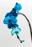 Orchid. Blue orchid in a white background Royalty Free Stock Photos