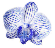 Orchid blue-white  flower. isolated on white background with clipping path.  Closeup. Motley brindle big flower. Royalty Free Stock Photography