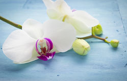 Orchid on blue Stock Images