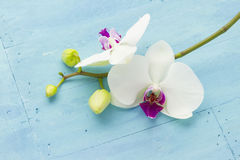 Orchid on blue Stock Photography