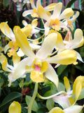 Yellow orchids. Flowers bloom colorful warmth, bright, cheerful, friendly, natural decorative atmosphere a good anywhere, anytime Stock Image