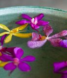 Orchid Bowl. Colorful, tropical orchid blossoms floating in a bowl of water royalty free stock photos