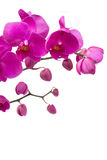 Orchid branch. Violet orchid branch isolated on white background Royalty Free Stock Images