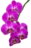 Orchid Branch Stock Photography