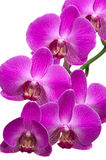 Orchid Branch Royalty Free Stock Photos