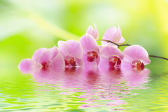 A orchid branch dipped in water Stock Photos