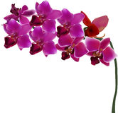 Orchid branch with eight dark pink blooms Royalty Free Stock Photo