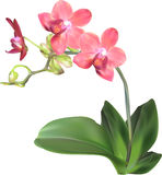 Orchid branch with isolated pink blossom Royalty Free Stock Photography