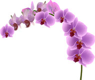 Orchid branch with lilac blooms on white Royalty Free Stock Image