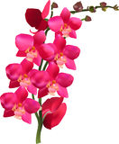 Orchid branch with lush pink blossom Royalty Free Stock Photo