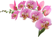 Orchid branch with nine pink blooms Royalty Free Stock Photography