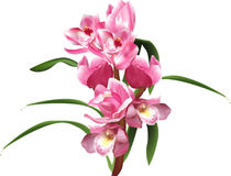 Orchid branch with pink blooms and long leaves Stock Images