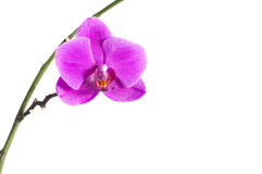 Orchid branch with a pink flower, isolated. On white background Stock Image