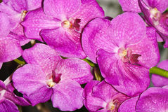 Orchid branch with pink flowers Stock Images