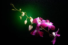 Orchid branch with water drops on it Royalty Free Stock Photography