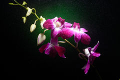 Orchid branch with water drops on it Royalty Free Stock Photos