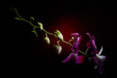 Orchid branch with water drops on it Stock Photography