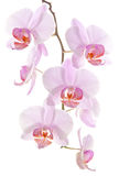Orchid branch. On white background Stock Photos